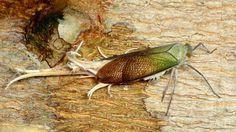 Fulgorid hopper, (Pterodictya reticularis), by Ecuador Megadiverso on Flickr (cc)