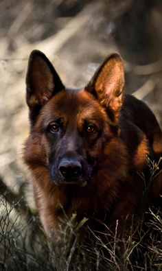 German Shepherd More #GermanShepherd
