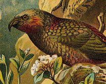 1901 Antique Papagei Druck, KAKA Papageien original antiken wunderschöne feine Gravur