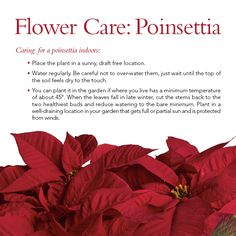 how to take care of poinsettia after christmas