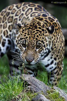 jaguar by Daniel Münger on 500px