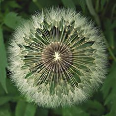 Dandelion seeds #dandelion #seeds