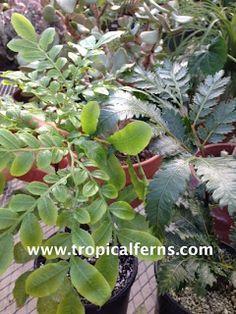 Rare Fern Species : Ptisana fraxinea (marattia)