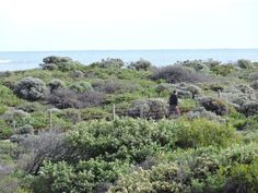 Bush at Burns Beach where the small Blue French Fairy Wrens live.   Constance Paul Photographer