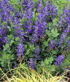 Baptisia australis - Blue False Indigo www.vanbloem.com #vanbloemgardens #perennial