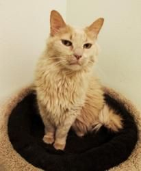 Kracker is an adopted Domestic Long Hair Cat in Casper, WY. DATE OF BIRTH: Kracker came to the shelter because his family was moving and could not take him with them. He is an attractive gu. Old Cats, Cats And Kittens, Long Haired Cats, Attractive Guys, Shelter, Birth, Adoption, Animals, House