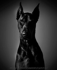 "Outstanding ""miniature pinscher"" detail is offered on our web pages. Check it out and you will not be sorry you did White Doberman Pinscher, Doberman Dogs, Great Dane Funny, Great Dane Dogs, Handmade Dog Collars, Cute Animal Photos, Dog Photos, Beautiful Dogs, Dog Owners"