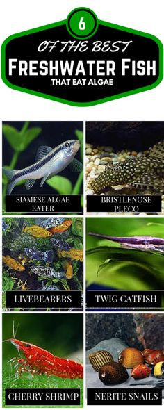 Some Fish species can be used to control algae. We have listed 6 of the best algae eating fish breeds.