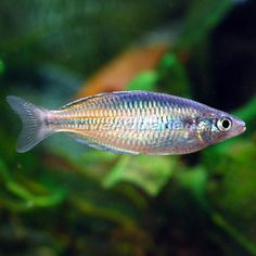44 best rainbow fish images on pinterest fish aquariums fish tropical fish for freshwater aquariums axelrodi rainbowfish fandeluxe Image collections