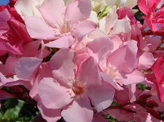 OLEANDER HAUS  Nerium Oleander Gotsis Aineias Rose Bay, Nerium, Sweet, Flowers, Plants, Gardening, House, Floral, Plant