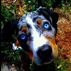 I love catahoulas. I miss my baby. Love you Freckles.