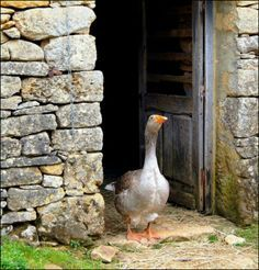 Farm:  #Goose.We don't have a goose.....yet.  I am getting some geese and turkeys :)
