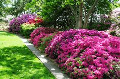 For acid -loving plants, use vinegar to make the soil so much better for them. Mix 1 cup of white vinegar with 1 gallon of water and add it to the soil for plants like rhododendrons and azaleas Garden Web, Lawn And Garden, Container Gardening, Gardening Tips, Balcony Gardening, Acid Loving Plants, Vinegar Uses, Garden Solutions, Garden Pests