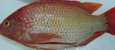 Whole Round Tilapia. Can be Fried, steamed, etc. It's Delicious, healthy, low in fat  but should be eaten in limited amounts.