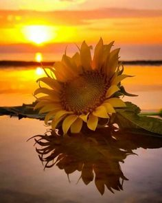 Sunflower Reflection.......