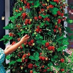 Red 100pcs Strawberry Climbing Strawberry Fruit Plant Seeds Home Garden New -- You can find out more details at the link of the image.Note:It is affiliate link to Amazon. #startup