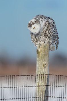 Snowy Owl by Dave Van de Laar on 500px