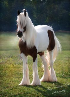 Beautiful, must be a Gypsy Vanner