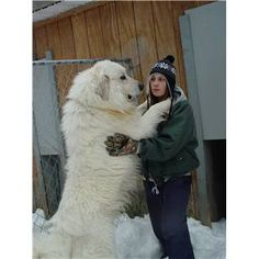 Pyrenese - I want one someday (when I can afford a maid to vacuum up after him) Giant Dogs, Big Dogs, Top Dog Breeds, Great Pyrenees Dog, White Dogs, Dog Show, Mountain Dogs, Working Dogs, Dog Pictures