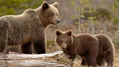fi presents information about four large carnivores living in Finland: bear, lynx, wolf and wolverine. National Animal, Brown Bear, Finland, Lynx, Wildlife, Animals, Summer, Nature, Animales