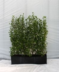 Griselinia Littoralis 1m trough young 60/80cm height pre-clipped instant hedging