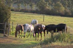 APPALOOSA groupe de l'étalon THE MIRACLE FINE et des juments dans leur vie de pré avec leurs poulains aux CHEVAUX DU LAYON