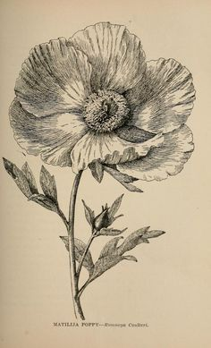 The Biodiversity Heritage Library works collaboratively to make biodiversity literature openly available to the world as part of a global biodiversity community. Vintage Botanical Prints, Botanical Drawings, Botanical Art, Poppy Drawing, Poppies Tattoo, Floral Illustrations, Art Sketchbook, Vintage Flowers, Gouache