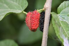 Edible Wild Plants South Carolina - Check out the free plant identification mobile app at GardenAnswers.com
