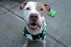 CALLA - A1100664 - - Manhattan  Please Share:TO BE DESTROYED 01/04/17 **ON PUBLIC LIST** A volunteer writes: My first walk of my shift set me up perfectly for a good day. What a nice dog!! Handsome, friendly, affectionate and a joy to be with, Mr. Calla dons his Jets coat without issue and out we go. He did ask me to tell you that at the moment he's a Jets fan, but if another team is your favorite – well, he'll go with the flow. Calla pulls on the leash at