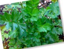 Selderij of Selderie  17 juli 2012 van mijn vader 2 plantjes gehad