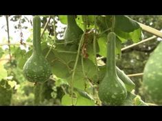 How to Plant Gourds | At Home With P. Allen Smith