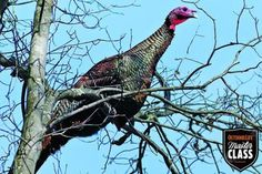 Turkey Hunting: How to Get Closer to Spring Gobblers Bow Hunting Deer, Quail Hunting, Turkey Hunting, Archery Hunting, Hunting Dogs, Hunting Stuff, 3d Archery, Hunting Land, Pheasant Hunting