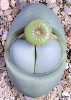 Argyroderma.sp by f.arias, via Flickr