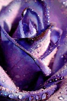 Purple Rose kissed by the Dew Purple Love, All Things Purple, Shades Of Purple, Purple Art, Beautiful Roses, Purple Flowers, Beautiful Flowers, Lavenders Blue Dilly Dilly, Mauve