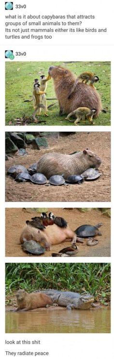 Capybara's are friend shaped