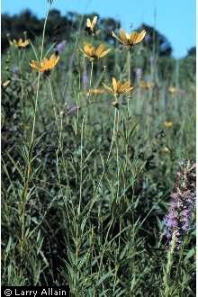 Tall Coreopsis, Coreopsis tripteris. Full/Part Sun. Perennial. Grows 3-6 feet in height. Indiana Native.
