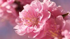 Herunterladen 1920x1080 Full HD Hintergrundbilder blüte rosa blüten azalee…