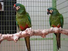 maracanã verdadeira_primolius maracana Brazilian Birds