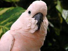Pink Cockatoo...maybe when I'm an empty nester