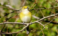 White-eyed Vireo, Ft Parker State Park, Mexia, Texas Photo by Willene Thrasher Woods