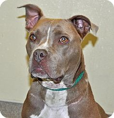 Port Washington, NY -  2-14-17, Pit Bull Terrier Mix. Meet Spice, a dog for adoption. http://www.adoptapet.com/pet/16524120-port-washington-new-york-pit-bull-terrier-mix