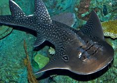 Shark Ray (Rhina ancylostoma), otherwise known as a Bowmouth Guitarfish.