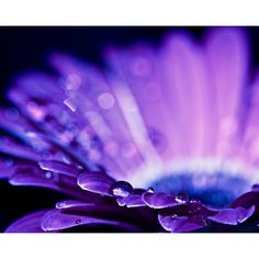 Macro Photography water drops rain home decor wall art romantic purple... ($25) ❤ liked on Polyvore featuring home, home decor, wall art, romantic wall art, blue wall art, labrador wall art, purple flower wall art and flower wall art