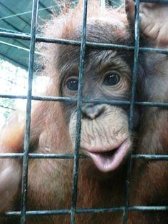 Statement by JAAN - Orangutan Outreach Orangutan Monkey, Forest Conservation, Wild Lion, Ape Monkey, Animal Tracks, Animal Anatomy, Orangutans, Animal Rescue Site, Monkey Business