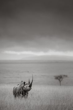A Black Rhino. (Photo By: David Lloyd Wildlife Photography on Facebook.)