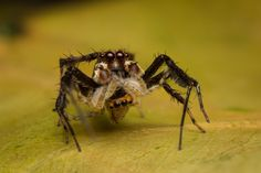 Salticidae - Portia labiata (male) with jumper prey