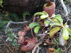 https://flic.kr/p/5FRDw8 | Nepenthes | Pitcher plant (Nepenthes sp.) found in Mount Hamiguitan Range, San Isidro, Davao Oriental. Taken from Nov 29-Dec 1, 2009)