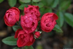 'Mothersday' – Grootendorst (1949). Trosroos. Halfgevulde, bolvormige, donkerrode bloemen (3cm). Zeer uitbundige eerste bloei. Klein glanzend blad. H 60cm.