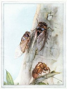 """The cicada Melampsalta montana from """"Fabre Book of Insects"""" (1921)"""