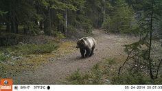 6 Ways to Stay Bear Aware   Crowfoot Media | Canadian Rockies Publishing House